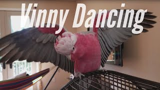 Vinny Rocking Out To Thunder by Imagine Dragons | PARROT VIDEO OF THE DAY