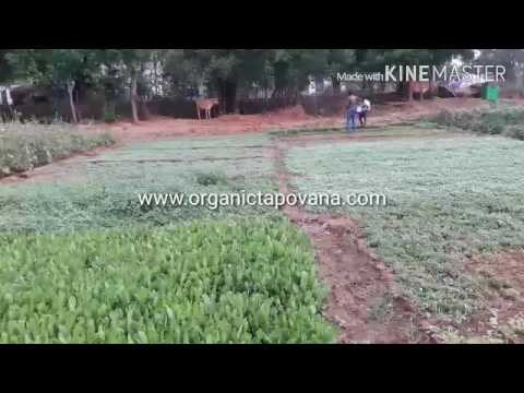 Organic Greens Cultivation from Tapovana