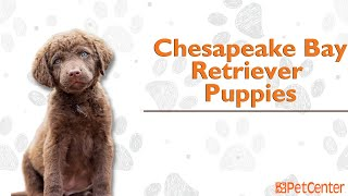 Is The Chesapeake Bay Retriever The Right Puppy For You?