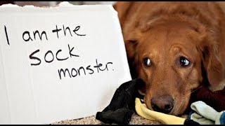 Its Time To Laugh - Why Dogs Take Owners Socks??