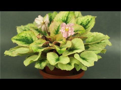 Растение Фиалка Лекарственные растения - 2017