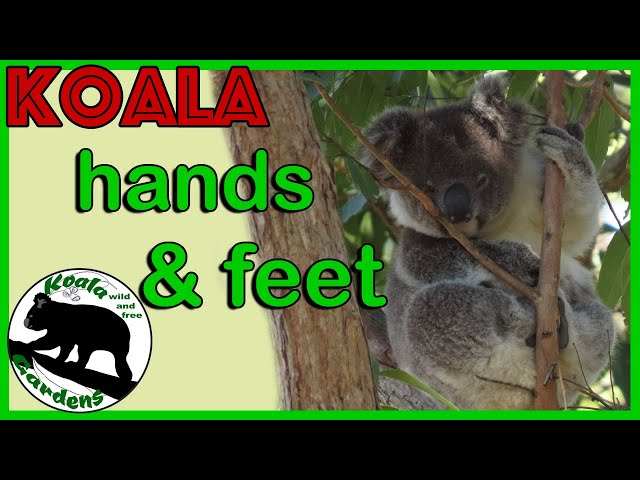 AWESOME koala Double THUMBS and those CLAWS - check out these awesome HANDS and FEET