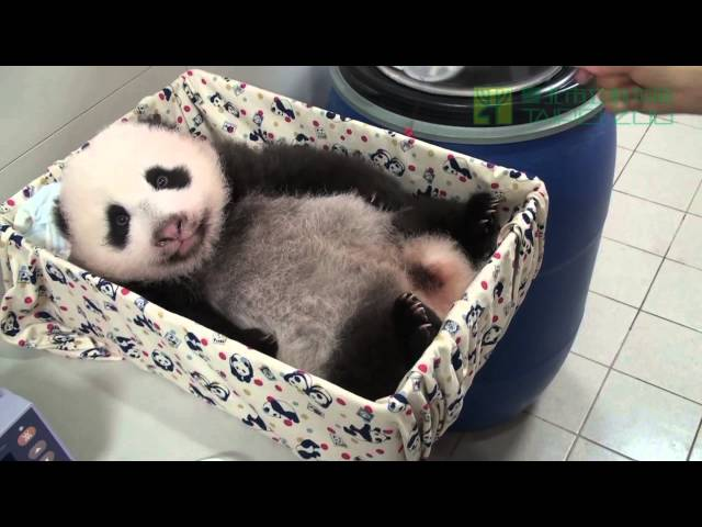 圓仔聽到了 The Giant Panda Baby Can Hear Now!