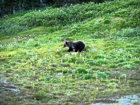 Grizzly bear digging for a marmot & Grizzly bear digging for a marmot - YouTube