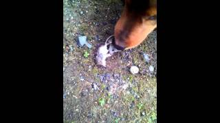 Собака и дохлая мышь