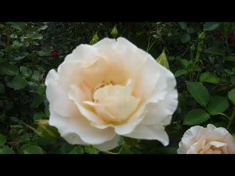 Прогулка по саду. 11 июня 2020. Сад из роз.