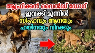 Unbelievable Facts about African wild Dog | ആഫ്രിക...