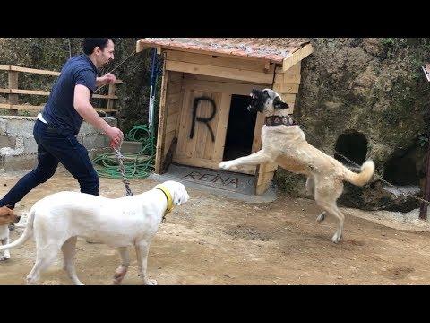 KANGAL BARON MİSAFİR SEVMİYOR:)) ünal kardeşim barona halat çektirecekti R yatı #kangal #canecorso