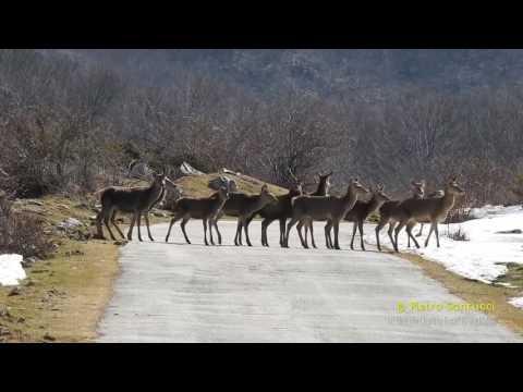 Parco Nazionale d'Abruzzo: attraversamento cervi!