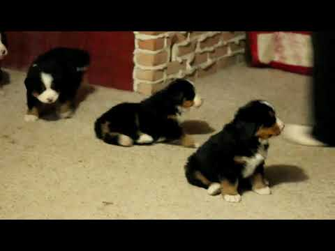 Bernese Moutain Dog Puppies For Sale Stephen Petersheim