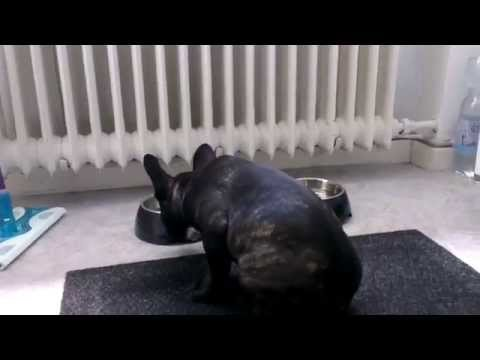Frankie Is Too Excited Over Food - 4 Months Old French Bulldog Puppy HD