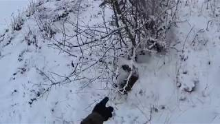 Охота на зайца Тропление зайца по первому снегу 2017