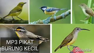 Suara mp3 pikat burung kecil. audio buat mengundang di alam liar. telah terbukti saat saya menggunakan ini.