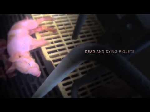 Wal-mart - Tyson SADISTIC BLOODY ANIMAL CRUELITY TORTURE