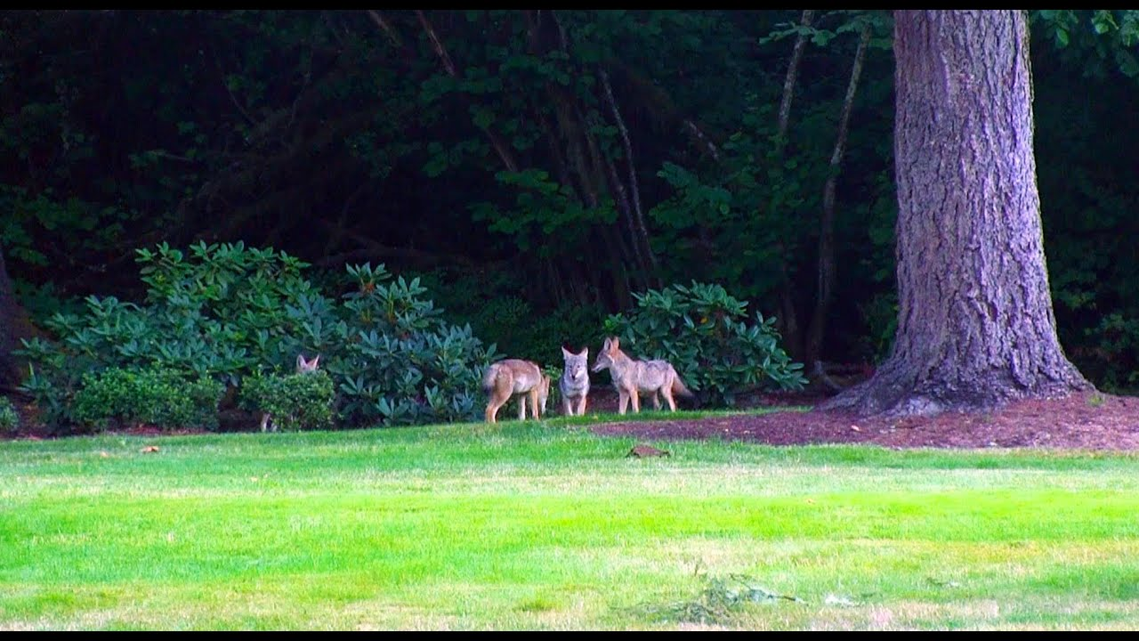Why Is There a Coyote in My Yard? - YouTube