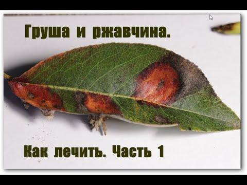 Вопрос: Откуда на саженцах груши желтые пятна (фото)?