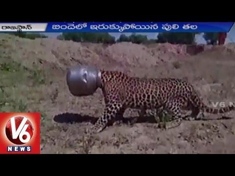 Cheetah Head Stuck In A Vessel    Exclusive Visuals    Rajasthan    V6 News