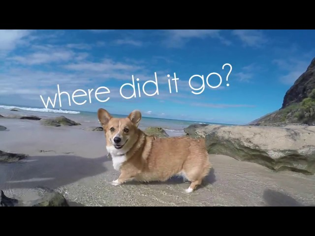 A Corgi Meets A Crab For The First Time