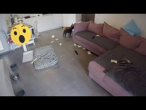 What Happens When You Leave 2 French Bulldogs Home Alone For 1 Hour