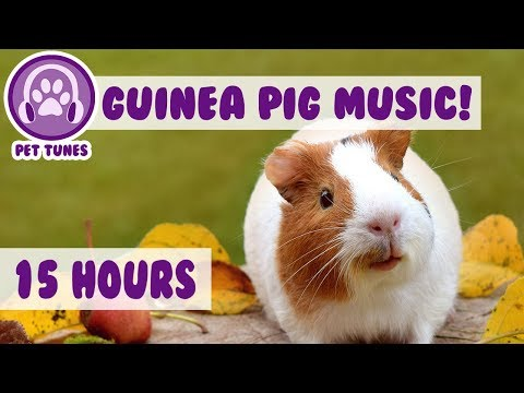 Best Remedy for Depression and Anxiety in Guinea Pigs! Help My Guinea Pig Relax! - Pet Therapy!
