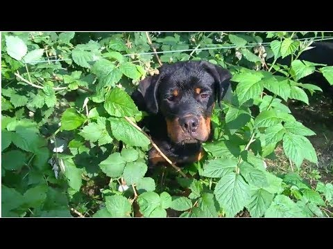 Rottweilers puppies eat raspberrys