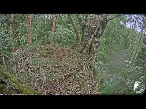 LDF Mazais ērglis tiešraide 2 / Lesser spotted eagle webcam 2 in Latvia