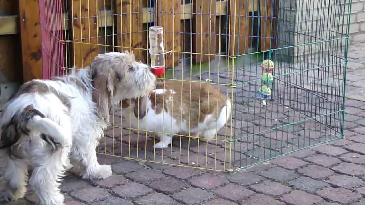 Petit basset griffon vendeen guus en snuf youtube - Petit basset griffon vendeen breeders toulon ...