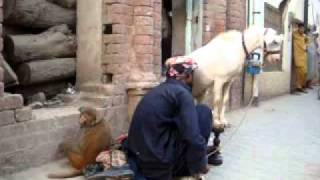 monkey and goat talent in multan (Hannan frm Multan)_mpeg4.mp4