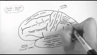 Brain Anatomy 1 - Gross Cortical Anatomy (Lateral Surface)