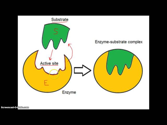 biology coursework enzyme action Effects of temperature on enzyme biology introduction in  there are two models of enzyme action,  factors that affect enzyme activity biology coursework:.