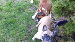 Boxer Vs French Bulldog