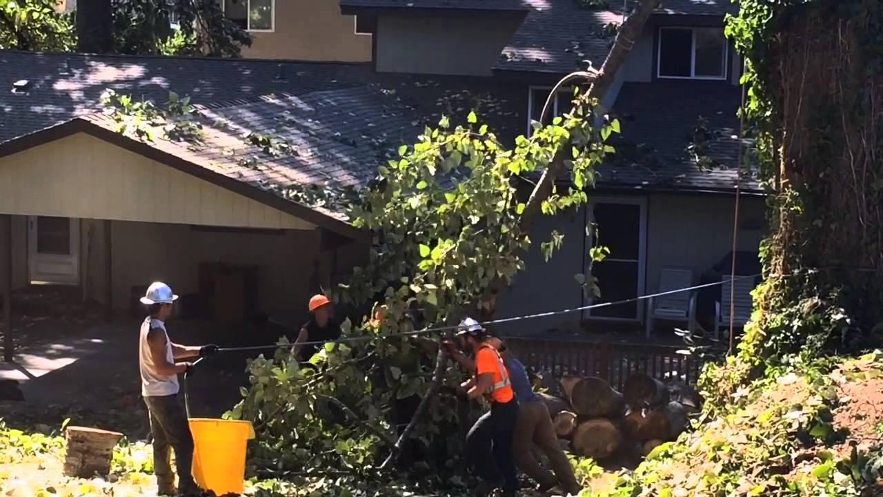 Workers Climb Cut Down Trees In Bellingham Neighborhood