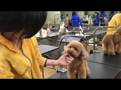 House of Groomers - Toy Poodle