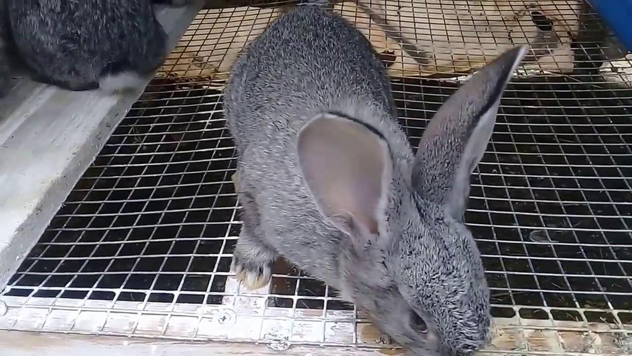 меньше кролики породы фландр кормление материалами, которых шьют