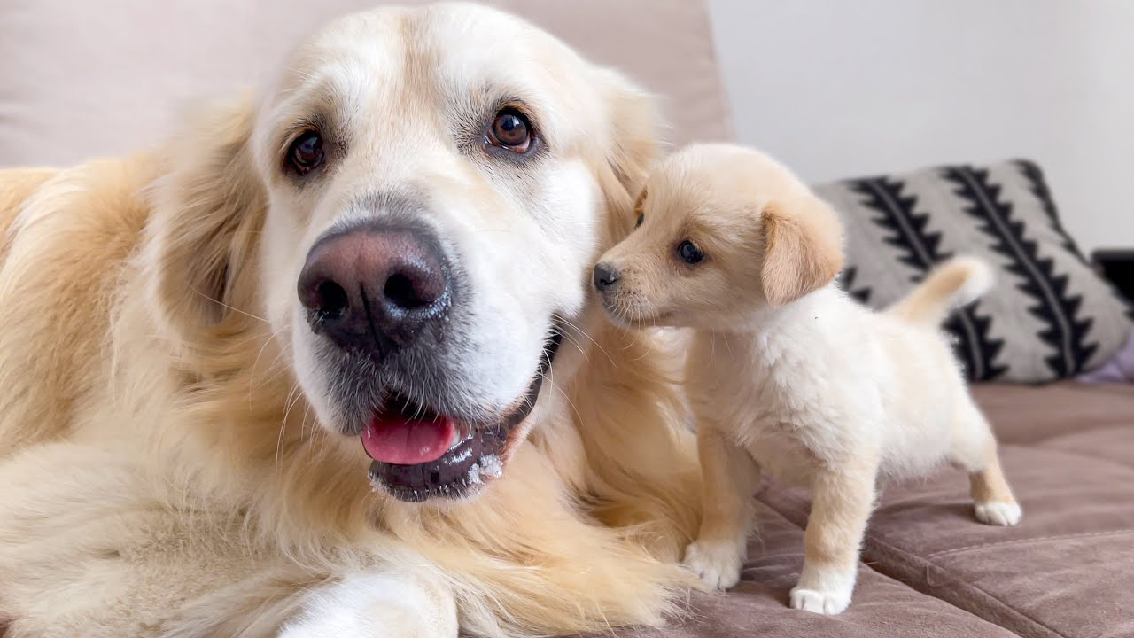 Puppy trying to make friends with a Golden Retriever