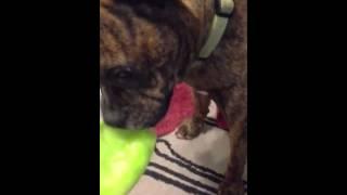 Happy dog eats melon