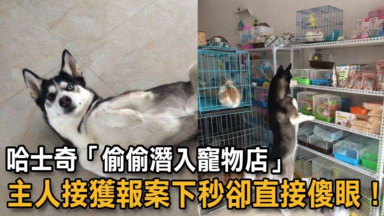 哈士奇「偷偷潛入寵物店」 主人接獲報案下秒卻直接傻眼!|狗狗故事|哈士奇
