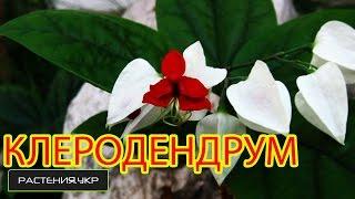 Клеродендрум (Clerodendrum) - лиана вечнозеленая цветущая