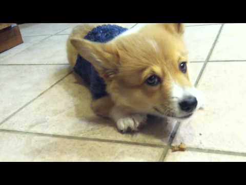 Corgi Puppy's First Treat