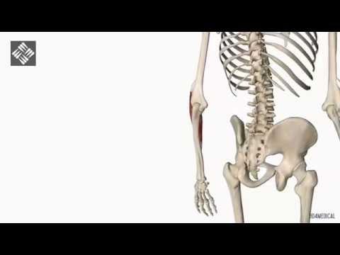 musculo supinador largo inervacion