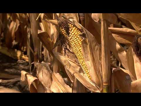 Genetically Modified Crops Are Secure, Analysis Finds