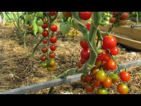 """Проверенный сорт томатов: """"Вишня красная"""""""