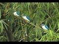Suara Gacor Burung Tengkek Jenis Biru Putih Format Mp3