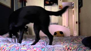 Hidden Cam Dogs, Black German Shepherd , French Poodle