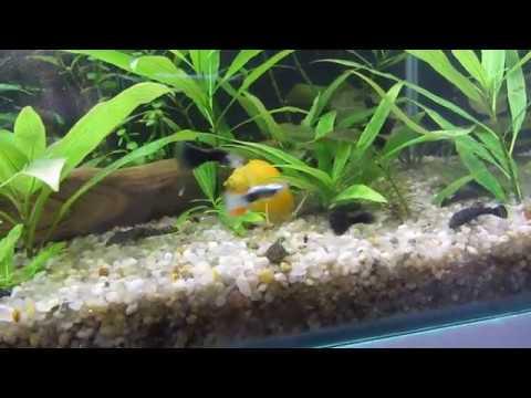 Жёлтый самец + красная самка, какое получилось потомство