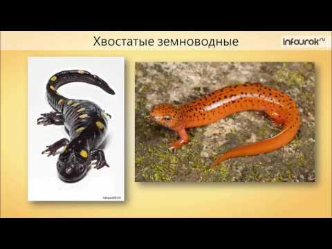 Многообразие и значение земноводных