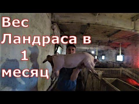 Видео: Взвешивание поросят / Сравнение пород