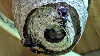 HORNET VS SPIDER Bald Faced Hornets Nest Build Time Lapse Yellow Jackets Nest