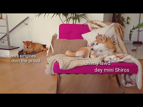Daddo is having a moment / Shiba Inu puppies (with captions)