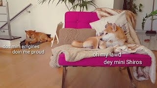 daddo-is-having-a-moment-shiba-inu-puppies-with-captions